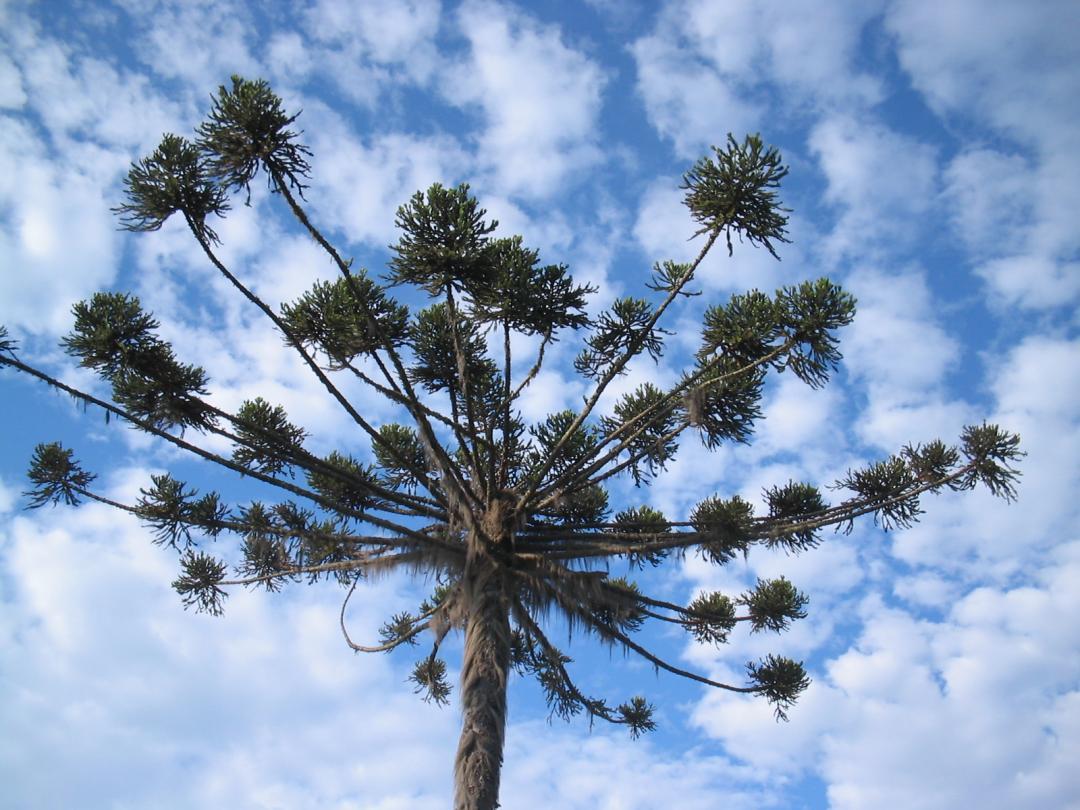 No dia da biodiversidade uma homenagem ao pinheiro brasileiro